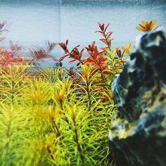 【glassaqua】さんのInstagramをピンしています。 《One of our @ultumnaturesystems 2c is now home to 6 different types of Rotala sp. which is One of John's favorite stem plants. It really makes the scape pop! // #aquascape #plantedtank #aquarium #fishtank #natureaquarium #fishofinstagram #aquadesignamano #iwagumi #tropicalfish #plantedaquarium #aquaticlife #shrimptank #aquascaping #aquaria #水草 #水草水槽 #水草レイアウト#熱帯魚 #アクアリウム #水草水槽 #水草レイアウト #glassaqua #rotala》