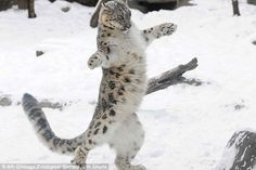 Snow leopard at play.