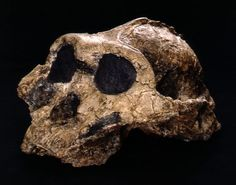 Almost complete skull of Paranthropus boisei. Features include sagittal and nuchal crests, a well-developed mastoid process, and a broad face. Brain size was around 510cc.