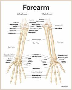 Forearm Bones Diagram Nissan Almera 2004 Stereo Wiring Radius Radial Bone The Shorter Of Two Long Anatomy Skeletal System And Physiology For Nurses Https Nurseslabs