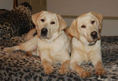 Beautiful yellow labs. I dont care for labs...but they aer Georgous.