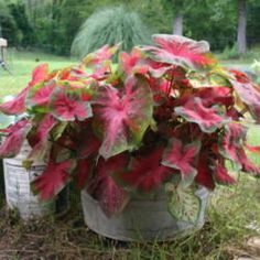 Review of Caladiums 4 Less