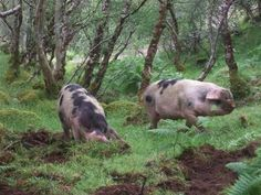 Gloucester Old Spot pigs