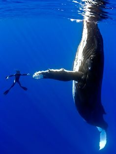 #3. Swim...with humpback whales ♥