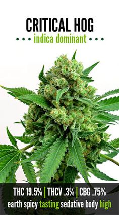 Critical Hog   Repined By 5280mosli.com   Organic Cannabis College   Top Shelf Marijuana   High Quality Shatter