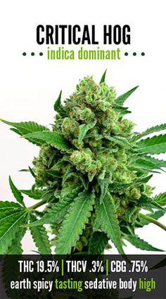 Critical Hog | Repined By 5280mosli.com | Organic Cannabis College | Top Shelf Marijuana | High Quality Shatter