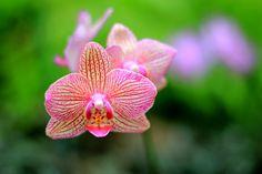 Orange and Fuchsia Orchid Photo Print 4x6 by MermaidSightings, $7.00