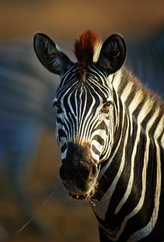 """Zebra Portrait Close-up"" ~ Photography by Johan Swanepoel on 500 px."