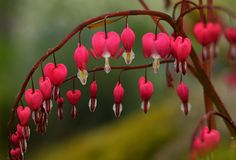 Bleeding Hearts by Arlene Gee, via Flickr