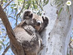 Narrandera is the perfect spot to find Koalas in the wild. Tiger Moth, Shady Tree, Water Tower, Picnic Area, The Visitors, Habitats, Wildlife, Old Things, Camping