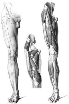 Músculos piernas 1
