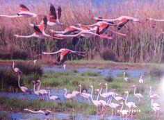 ✿ ❤ İzmir Kuş Cenneti flamıngoların dünya üzerindeki sayılı üreme alanlarından biridir.