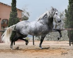 Andalusian or Lusitano