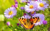 Schmetterling auf Aster