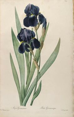 Welcome May! Beautiful Antique P.J. Redoute` Early Botanical Prints of Iris - bumble button