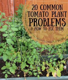 There's nothing a gardener loves more than the perfect tomato! Learn how to get them and avoid the most common problems.