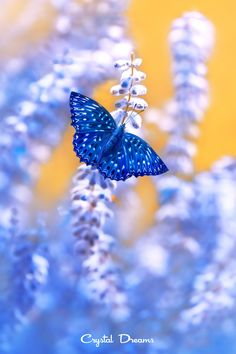 Blue butterfly on blue flowers. This has a lovely orange background too which really sets it off
