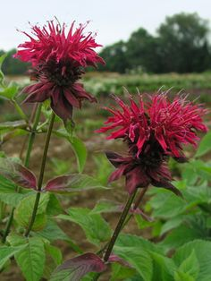 """Monarda Colrain Red- medium height 36""""; early summer to early fall; full sun to part shade;"""