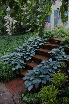 Blue hosta edging