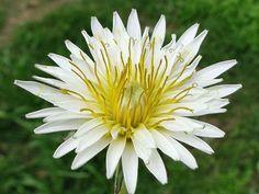 Taraxacum albidum (White Dandelion) it is a perennial herbaceous plant, sometimes mistaken for Taraxacum coreanum. The deeply lobed leaves...