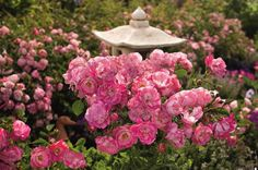 Monrovia's Flower Carpet® Pink Splash Groundcover Rose details and information. Learn more about Monrovia plants and best practices for best possible plant performance. Ground Cover Roses, Purple Shamrock, Landscaping With Roses, Landscaping Ideas, Carlsbad Flower Fields, Easy To Grow Bulbs, Monrovia Plants, Bulbs For Sale, Plant Catalogs