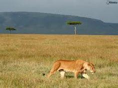 leona, sabana