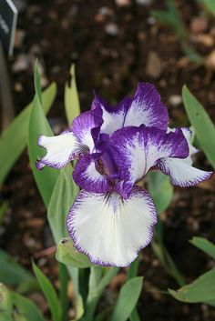 Iris -  I find this colour combination very exciting - it's so crisp and clear and yet very passionate!!!