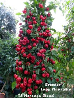 """Capsicum grows in small pots. """"Its all in the fertilizer""""."""