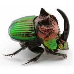 Iridescent Dung Beetle.   Some of the most beautiful beetles in the world are here helping us clean up poop.  A call to sanitation workers everywhere to rise up and show your own kind of beautiful.    More later on these royal creatures.