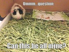 Guinea pig named Rorla...plenty of timothy hay for this little cutie!  Click  http://smallpetselect.com/timothy-hay-pictures/plenty-timothy-hay-for-a-guinea-pig  and get free shipping on timothy hay for your guinea pigs with coupon code 'PINTEREST'!