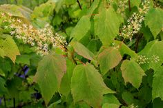Mountain Maple Trees And Shrubs, Mountain, Herbs, Fruit, Plants, The Fruit, Herb, Flora, Plant