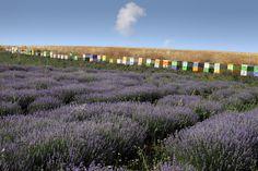 Beehives & Lavenders farm