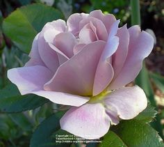 Rose 'Silver Cloud'