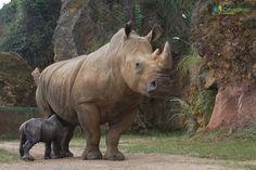 Cabárceno cuenta con cerca de 200 animales pertenecientes a más de 120 especies que proceden de los cinco continentes. Entre los grandes mamíferos que podemos ver está el rinoceronte blanco, que en el año 2013 consiguió reproducirse en cautividad, uno de los grandes logros del parque.