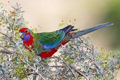Crimson Rosella (juvenile green plumage). Eastern coastal Australia.