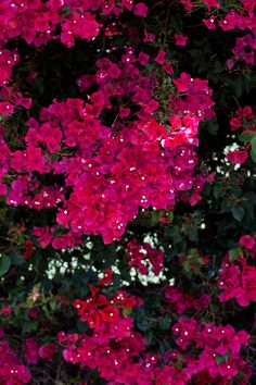 Just like my parents had before PQ canyon was filled in and their fence of beautiful bougainvilleas were torn out.