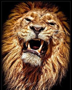 The King by René Unger lion Beautiful Cats, Animals Beautiful, Beautiful Pictures, Big Cats, Cool Cats, Regard Animal, Animals And Pets, Cute Animals, Wild Animals
