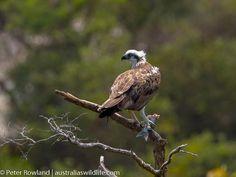 Bald Eagle, Birds, Animals, Color, Animales, Animaux, Colour, Bird, Animal