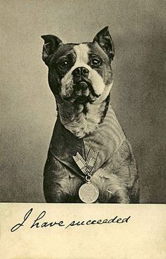 Sgt. Stubby, a WWI decorated war Boston Terrier who served with US troops.  Had a bounty on his head by the German army. #pitbull