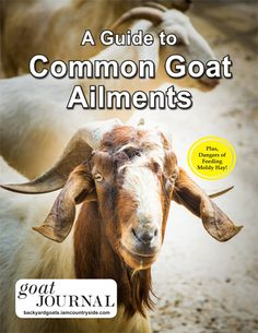Essential Goat Hoof Trimming Tips - Backyard Goats Keeping Goats, Raising Goats, Goat Hoof Trimming, Goat Playground, Nubian Goat, Dwarf Goats, Nasal Passages, Goat Farming