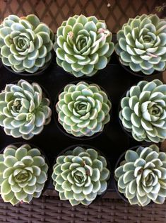 Succulent Plant  Echeveria 'Mexican Snowball' by SucculentOasis, $9.50