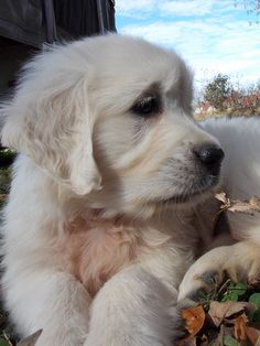The Golden Acres RaeRay's Lily of the Valley - Lily at 7 weeks of age.  She is an English Cream Golden Retriever (the reddish spot on her chest is from the cedar shavings the breeder had).