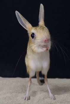 """Jerboas belong to the family """"Dipodidae"""" of jumping rodents which includes all sorts of little critters that, as you'd expect, are specialized in jumping! Cute Funny Animals, Funny Animal Pictures, Cute Baby Animals, Reptiles, Mammals, Rare Animals, Animals And Pets, Beautiful Creatures, Animals Beautiful"""