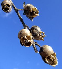 The Dragon's Skull: The Macabre Appearance Of Snapdragon Seed Pods