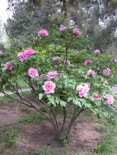 Tree peonies with upright growth habits make excellent display plants. Do not be intimidated by the height, keep in mind that tree peonies are slow growing plants which take 10-15 years to reach their mature size. Vigorous cultivars can also be kept smaller with yearly pruning. Grow in USDA zones 4-9, with at least 5-6 hrs of sun