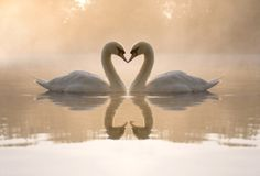 swans. This would be pretty blown up, and framed. Hang in master bedroom or bathroom??