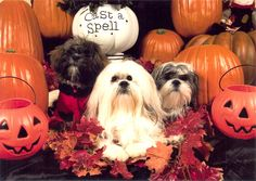 This is my photo shoot I set up for my dogs. I hired a professional (to take pics)  but I did all the work!!!! Photo taken in Fall 2009.