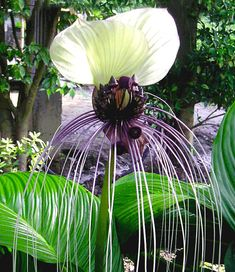Tacca Nivea White 10 Seeds, Devil's Whiskers, White Bat Flower House Plants, Great Greenhouse Contai Rare Flowers, Bulb Flowers, Amazing Flowers, Full Sun Container Plants, Container Flowers, White Orchids, White Flowers, Flower Bulbs For Sale, Bat Flower