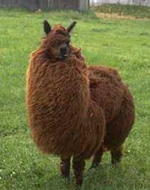Fluffy llama!
