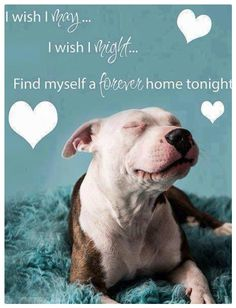 Be good to a pitbull, give him/her a forever home. Shower them with love and they will forever give you the same in return and some! Shelter Dogs, Rescue Dogs, Animal Rescue, Adopt A Dog, I Love Dogs, Puppy Love, Cute Dogs, Pet Shop, Mon Combat